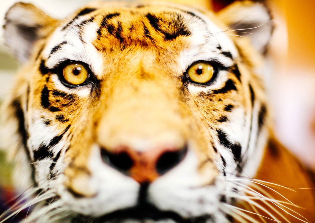 Tigers Face II