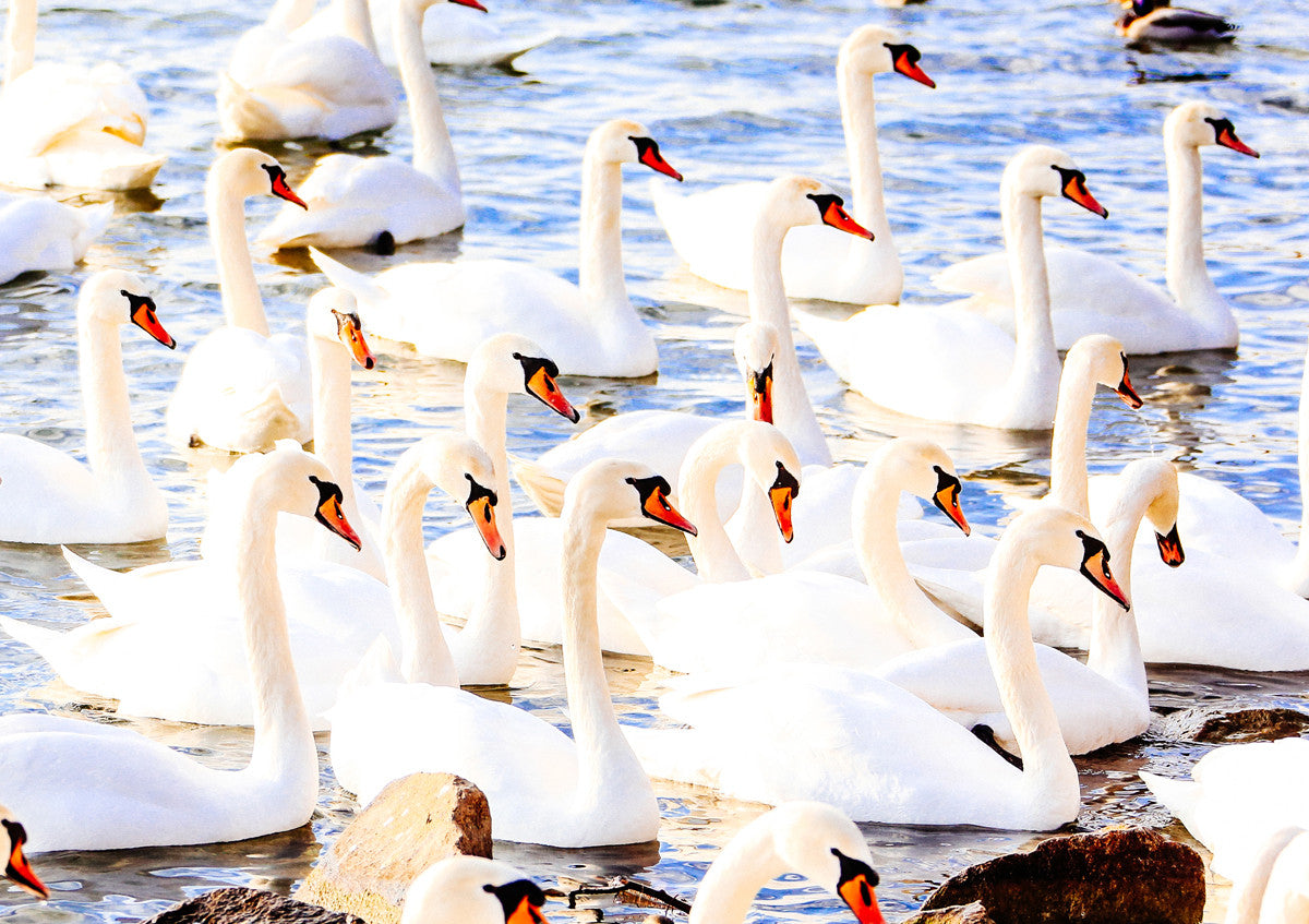 Crowded Swans