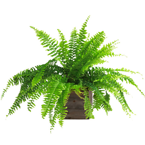 Living Fern — Assorted Seasonal Varieties