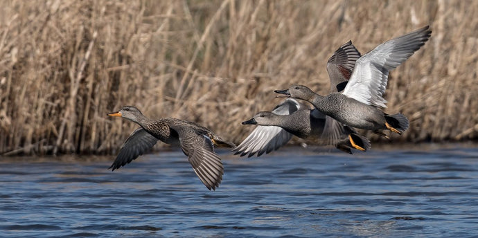 Gadwall Populations Soar: Potential Reasons and Tips on Taking Advantage