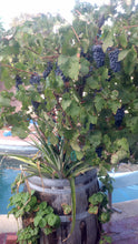Wine Barrel Planter - Companion Growing (grapes, pineapples, strawberries)