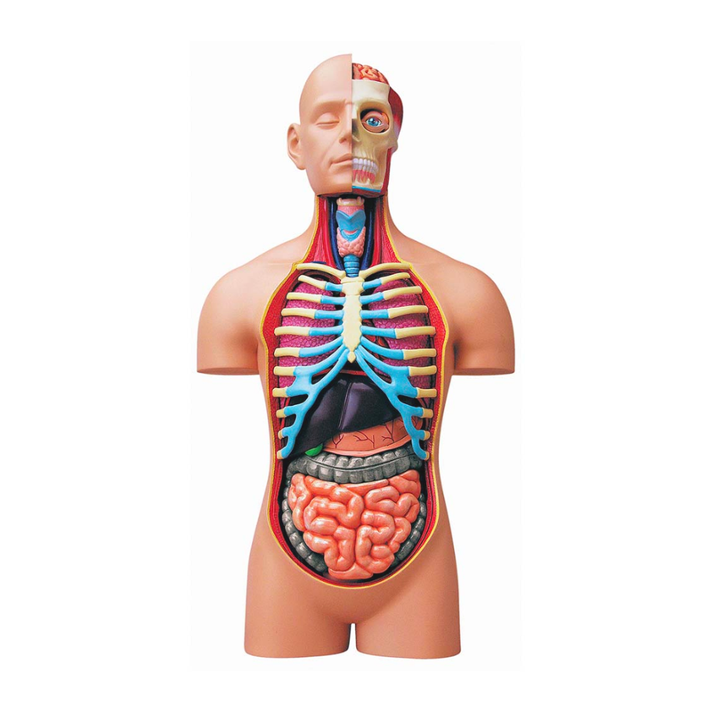 Super Deluxe 4D Human Anatomy Torso Model