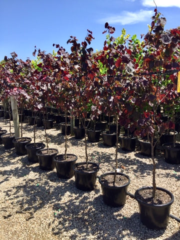 Cercis canadensis 'Forest Pansy' 40cm