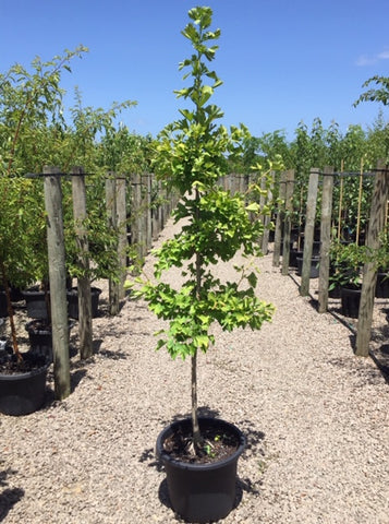 Ginkgo biloba - MAIDENHAIR TREE 40cm