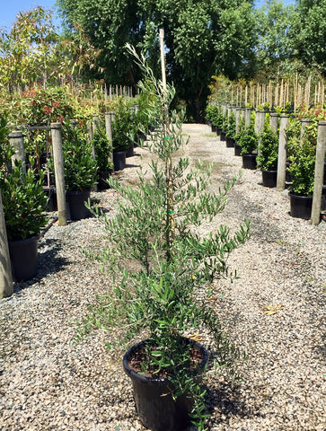 Olea europea 'Tolley's Upright' - 40cm