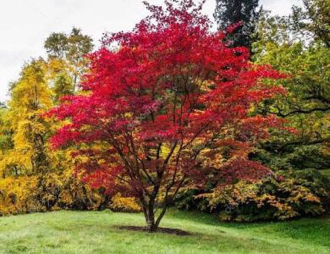 Acer palmatum - JAPANESE MAPLE 40cm