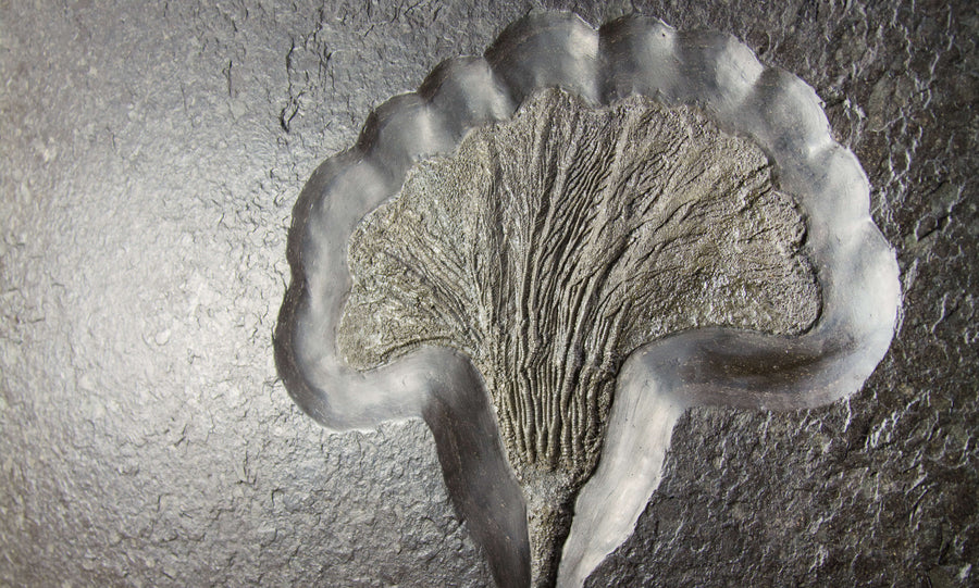 Six Foot Holzmaden River Lily Plate For Wall Mount With Two Fossil Pyrite Gold Crinoid Flower Heads