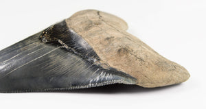 Rare Megalodon Shark Tooth. 4.44""
