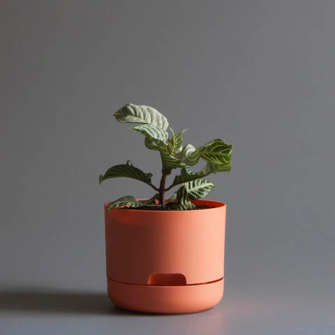 Mr Kitly x Decor Selfwatering Plant Pot - Apricot