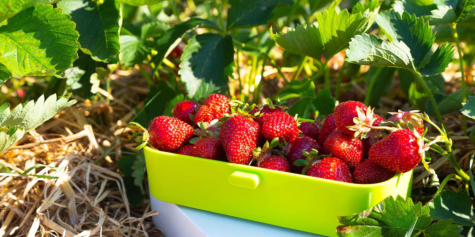 eSeasons Bento Lunchbox: A Little Luxury, handpicked strawberries straight from the fields