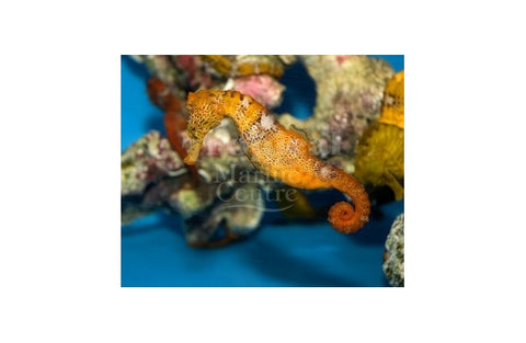 Seahorse - Giant Coloured (Hippocampus reidi)
