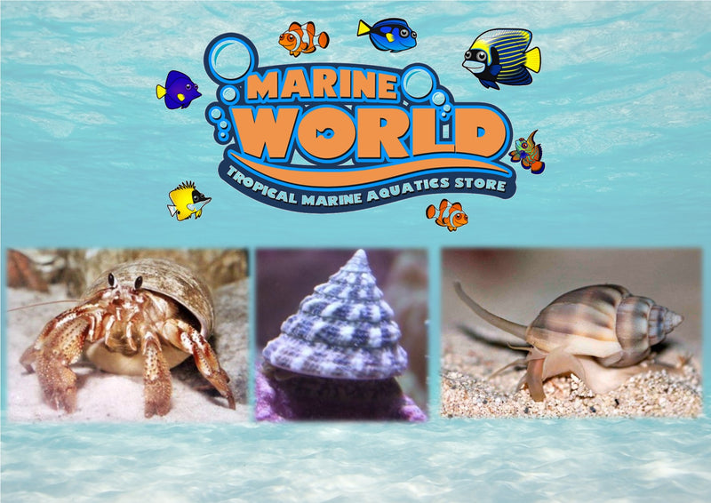 10 Turbo Snails, 10 Nassarius Snails, 10 Hermit Crabs - Marine World Aquatics
