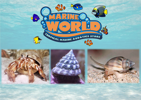5 Turbo Snails, 5 Nassarius Snails, 5 Hermit Crabs - Marine World Aquatics