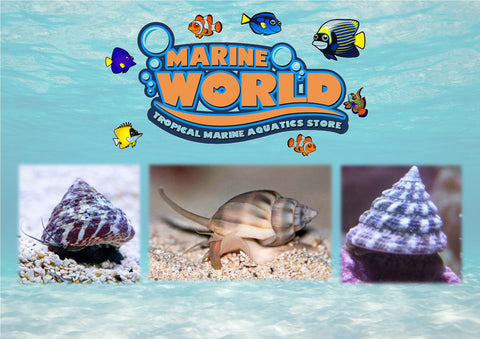 10 Turbo Snails, 10 Nassarius Snails,10 Banded Trochus Snails - Marine World Aquatics