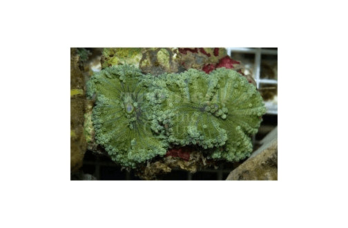 Ricordia LG Coloured (Ricordea yuma) - Marine World Aquatics