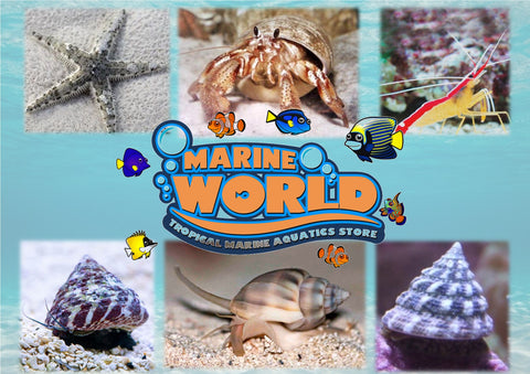 10 Turbo Snails, 10 Nassarius Snails, 10 Hermit Crabs, 10 Banded Trochus Snails, 1 Cleaner Shrimp, 1 Sand- Sifting Starfish - Marine World Aquatics
