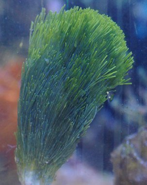Fan Algae - Giant (Halimeda spp.)