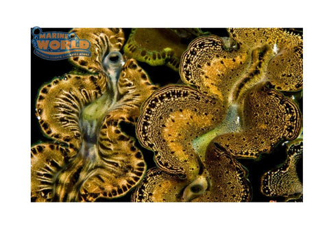 Cultured Clam - Maxima Gold - Marine World Aquatics