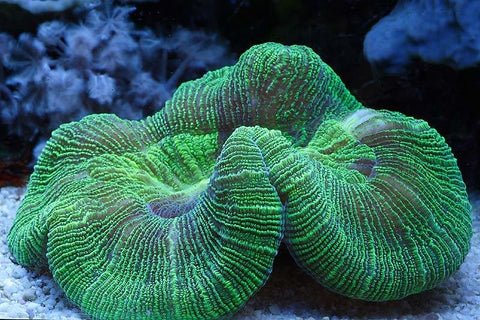 Brain Coral Sea (Trachyphyllia spp)