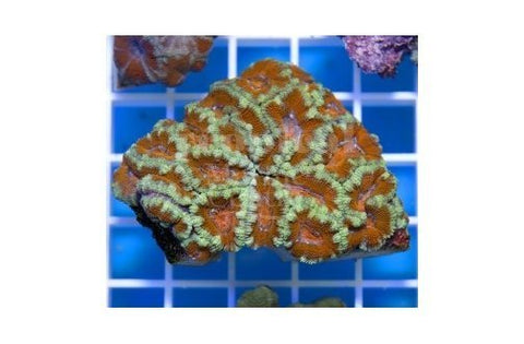 Button Coral Coral Sea (Acanthastrea spp)