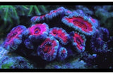 Button Coral Coral Sea (Acanthastrea spp) - Marine World Aquatics