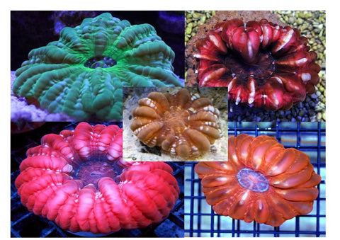 Cushion Coral Sea (Cynarina spp)