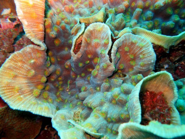 Eyed Cup Coral (Mycedium spp) - Marine World Aquatics