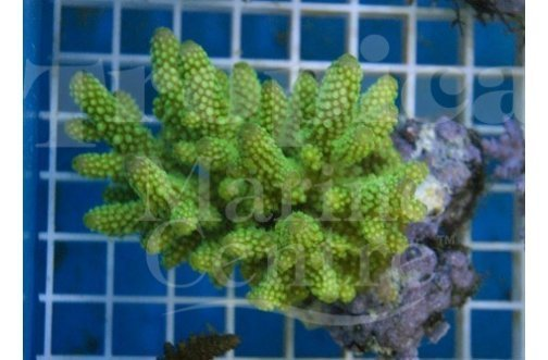 Staghorn (Acropora spp) - Marine World Aquatics