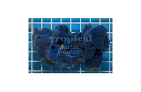 Blue Sponge (Haliclona spp) - Marine World Aquatics
