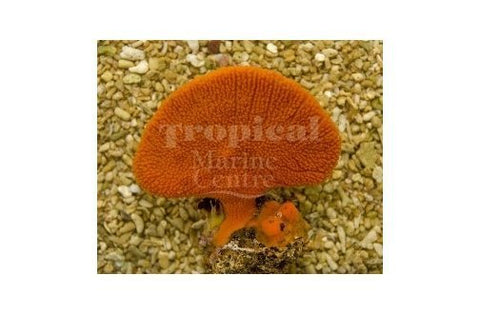 Orange Fan Sponge (Clathria rugosa)