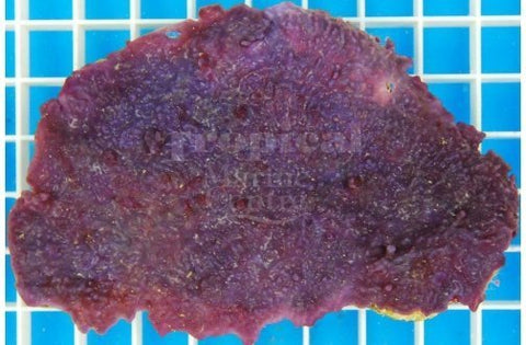 Purple Encrusting Sponge Cultured (Haliclona sp)