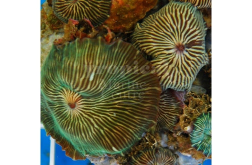 Striped Mushroom Rock Cultured (Discosoma striata) - Marine World Aquatics