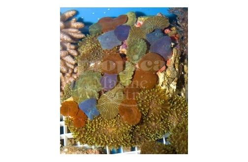 Multicolour Combi Mushroom Rock (Various spp) - Marine World Aquatics