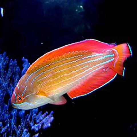 8 Line Flasher Dwarf Parrot (Paracheilinus octotaenia) - Marine World Aquatics