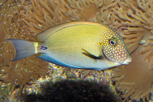 Freckle Face Tang (Acanthurus maculiceps) Fish by marineworld.co.uk