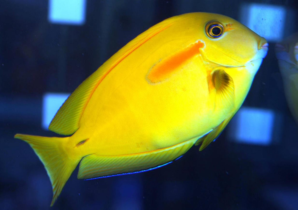 Orange Shoulder Tang : J - Melanesia (Acanthurus olivaceus) - Marine World Aquatics