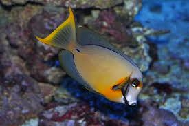 Mimic Tang - Half Black (Acanthurus pyroferus) - Marine World Aquatics
