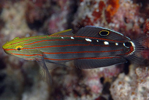 Court Jester Goby (Amblygobius rainfordi) - Marine World Aquatics