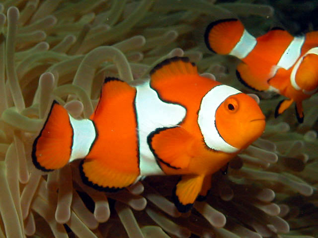 Tank Bred Clown - Onyx (Amphiprion percula) - Marine World Aquatics