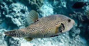 Dogface Puffer - Scribbled (Arothron mappa) - Marine World Aquatics
