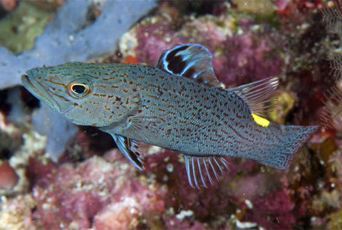 Arrow Grouper (Belanoperca chabanaudi) - Marine World Aquatics