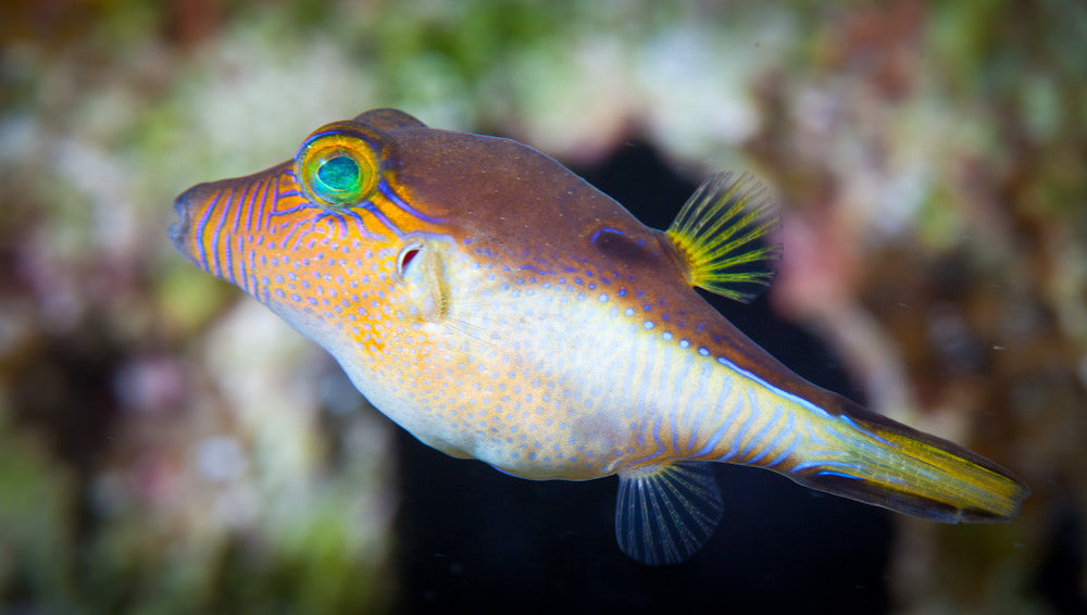Caribbean White Belly Puffer (Canthigaster rostrata) - Marine World Aquatics