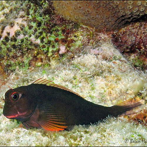 Caribbean Red Lip Blenny (Ophioblennius atlanticus), Fish by marineworld.co.uk