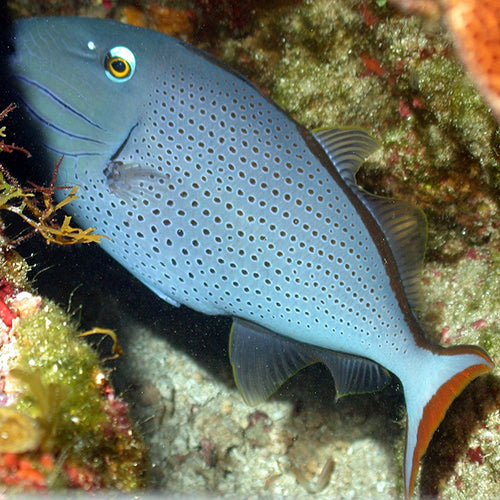 Caribbean Redtail Trigger (Xanthichthys ringens), Fish by marineworld.co.uk