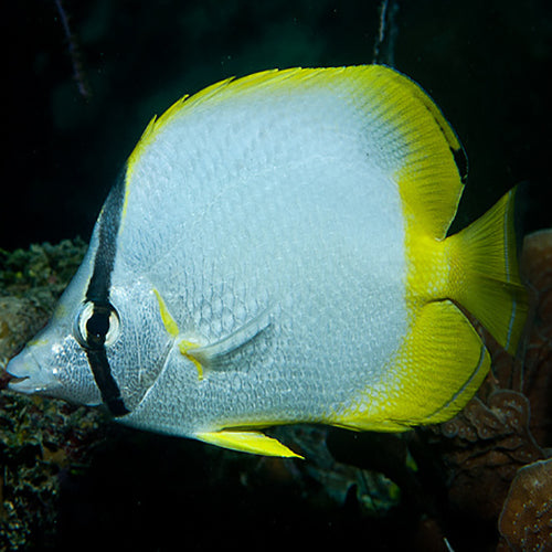 Caribbean Reef Butterfly (Chaetodon ocellatus), Fish by marineworld.co.uk