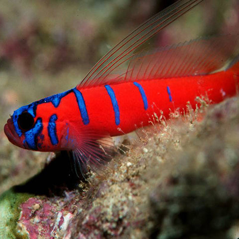 Catalina Goby (Lythrypnus dalli) - Marine World Aquatics