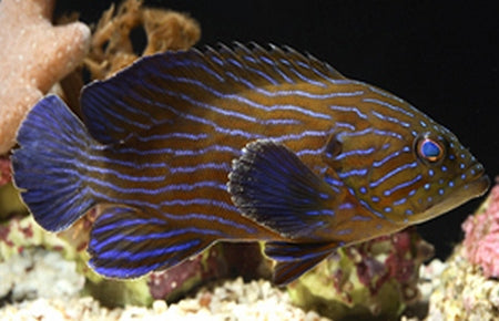 Blue Stripe Grouper (Cephalopholis formosa) - Marine World Aquatics