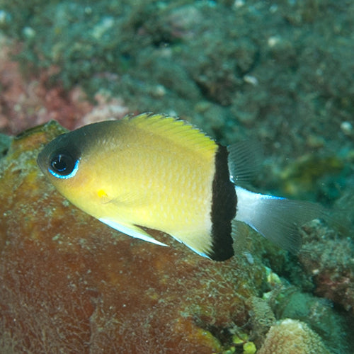 Chromis - Black Bar (Chromis retrofasciata) - Marine World Aquatics