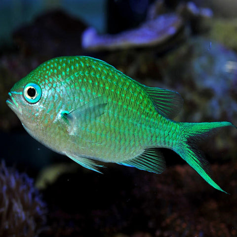 Chromis - Green (Chromis viridis) - Fish by marineworld.co.uk