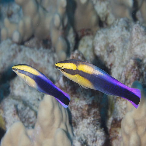 Cleaner Wrasse - Hawaiian (Labroides phthirophagus), Fish by marineworld.co.uk